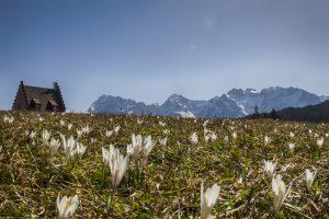 krokusblüte am Kranzbach