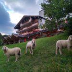 Schafe vor der Gröblalm