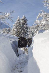 Kühe beim Winterwandern