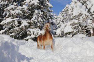 Die Pferde lieben Schnee