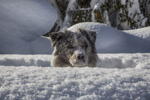 Prinzi versinkt im Schnee