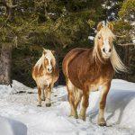 Pferde an der Gröblalm